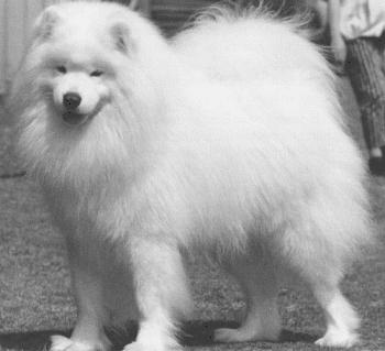 Todays Samoyed bred for the show